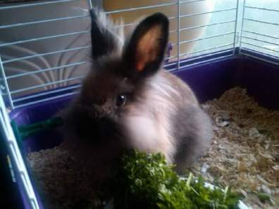 Furggie Bunny